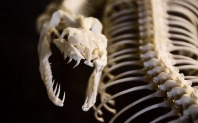 Serpientes. ¿Venenosas o no venenosas?                                                                   Clasificación de las serpientes según su dentición.